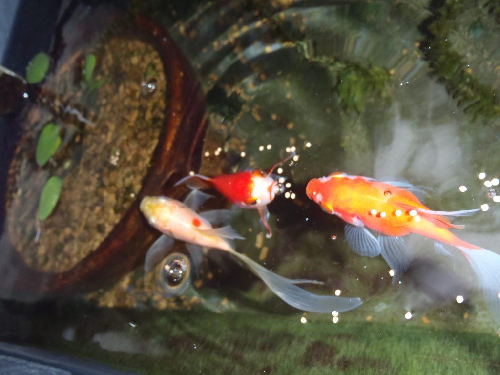 金魚 退色
