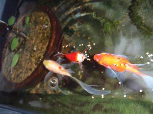 玉サバは可愛くて丈夫な金魚!寒さに強い!冬でも屋外プラ舟OK