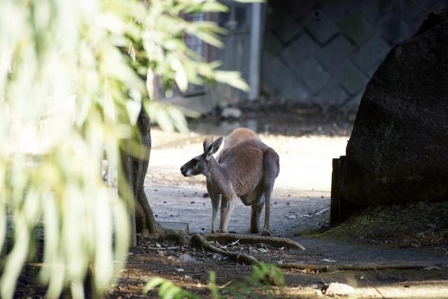 UMA?目撃多数!野良カンガルーは日本の冬を越せるのか