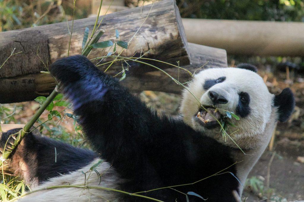 カンカンランラン♪上野動物園は大行列!ジャイアントパンダの話