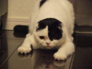 猫,クラッキング