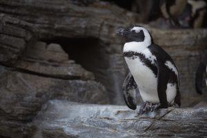 脱走ペンギンマッチョ事件イメージ