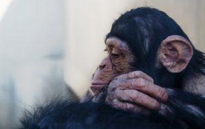 チンパンジー,じゃんけん