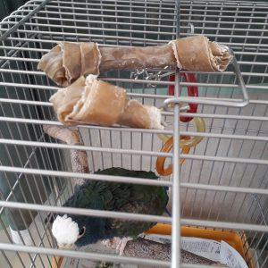 ピオヌス,メキシコシロガシラインコ,おもちゃ