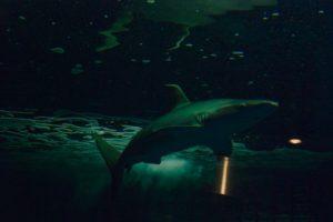 サメ,シャークアタック,サーファー