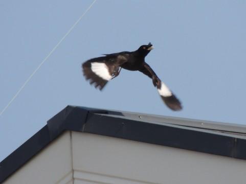 近所のヘンな鳥ハッカチョウ