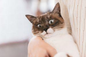 猫,目の色