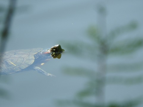 池の水ぜんぶ抜く?かいぼりで出てくる外来種と在来種について