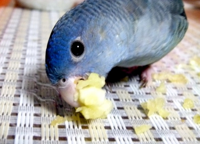 一緒にフルーツ食べよう!インコに与えていいもの悪いもの