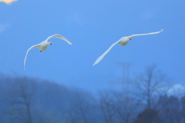関東のハクチョウ飛来地