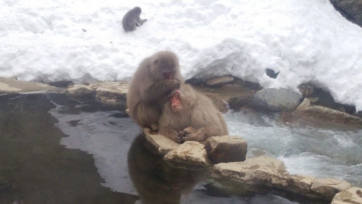 japanese_snow_monkey